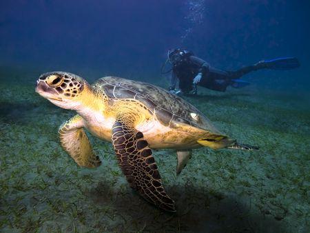 Groene zee schildpad Chelonia mydas zwemmen onder water voor scuba diver gezien op achtergrond, Abu Dabab, Egypte