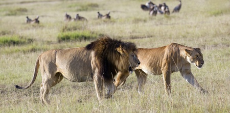 Mature pride leader lion with full developed mane and lioness  (Panthera Leo) walking in short grass  , Masai Mara, Kenya Stock Photo - 8539046