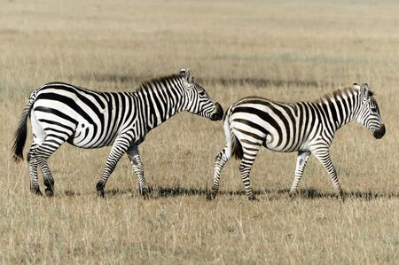 animal mating: Common zebra (also  Plains or Burchells zebra)  Equus quagga breeding  in the Masai Mara National Reserve , Kenya