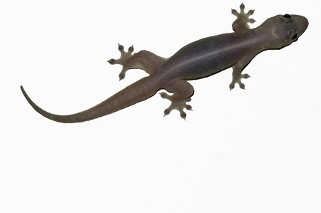 harmless: Gehyra Mutilata common four-clawed house gecko of Seychelles granitic islands
