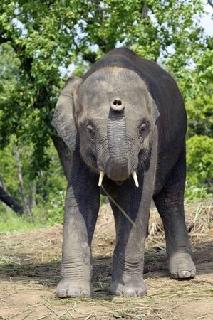Young male Asian  elephant (Elephas maximus) in the elephant breeding center, Sauraha, Nepal photo