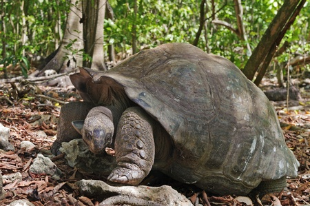 cousin: Aldabra Giant Tortoise (Aldabrachelys gigantea), Cousin island, Seychelles, Africa