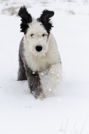 Old English Sheepdogs puppy runs in open field enjoying new fallen snow  photo