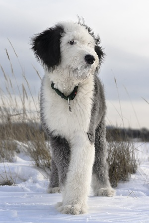 Puppy of Old English Sheepdog in snowy field