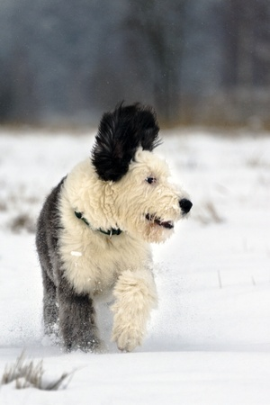 age 5: Old English Sheepdog puppy run in open snowy field on the edge of forest, age 5 month