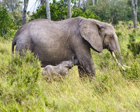 African bush elephant, and suckling calf, Kenya photo