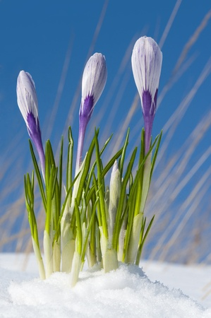 Pickwick  crocuses emerging from under snow cover in the garden, early spring photo