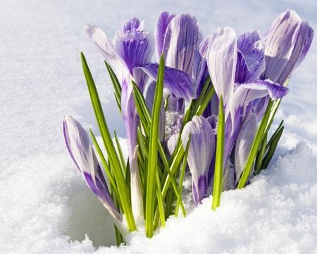 krokus: Pickwick krokussen die uit onder de sneeuw dekking in de tuin, het vroege voorjaar