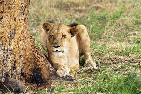 africa tree: African lioness resting in shadow under the tree , Eastern  Africa