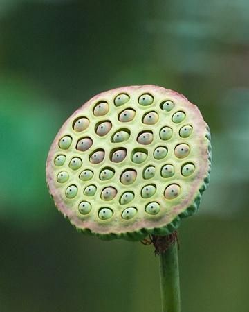 padma: Seed Head of  Nelumbo nucifera (White Lotus  Padma  Sacred Lotus ). Stock Photo