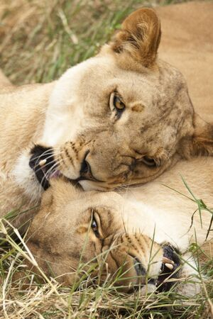 african lionesses playing in grass, closeup photo