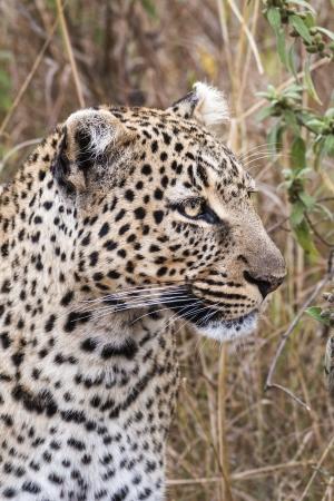 leopard head: Leopard , Masai Mara National Reserve, Kenya, Eastern Africa Stock Photo