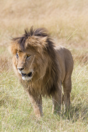 badly: Male lion with badly hurt right eye , Masai Mara National Reserve, Kenya, Africa
