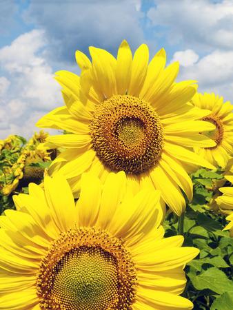 helianthus annuus: Sunflower  Helianthus annuus  heads with fluffy clouded sky on background, Ukraine