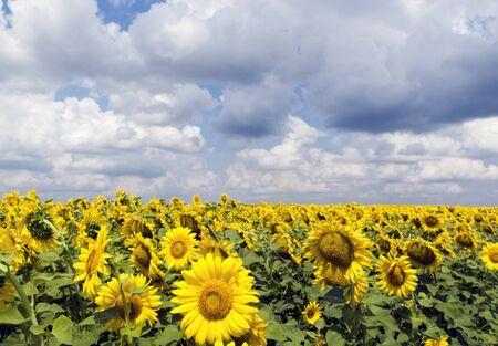 helianthus annuus: Sunflower  Helianthus annuus  field,  fluffy clouds on background, Ukraine
