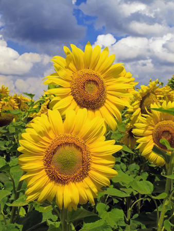 Sunflower  Helianthus annuus  heads with fluffy clouded sky on background, Ukraine photo