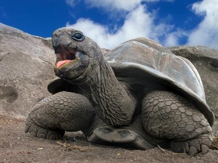 large turtle: Aldabra Giant Tortoise  Aldabrachelys gigantea , Seychelles, Africa Stock Photo