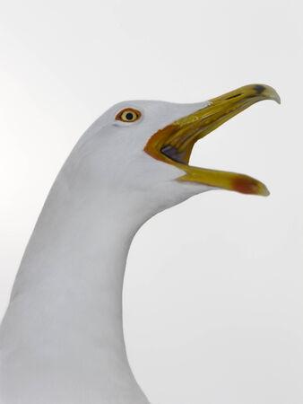 black beak: Great Black-backed Gull  Larus marinus head, against white background Stock Photo