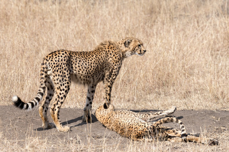 adult kenya: Two adult cheetahs resting after succesful hunting in Masai Mara National Reserve, Kenya, East Africa