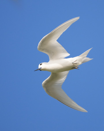 Blanc Tern Gygis alba en vol, Bird Island, Seychelles Banque d'images - 25678609