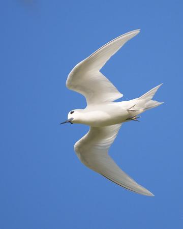 White Tern  Gygis alba  in flight, Bird island, Seychelles