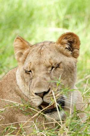 drowse: African lioness squint on bright sun while resting, Eastern  Africa