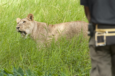 Close encounter of man with  african lioness, Eastern  Africa photo