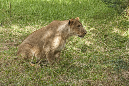 taget: African lioness focused on taget while stalk her prey , Eastern  Africa