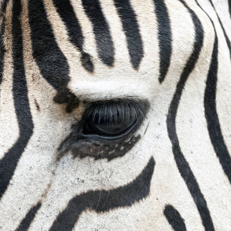close up eye: dettaglio della testa di zebra, close up, occhi e intorno