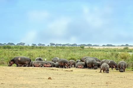 mire: Large herd of hippo  Hippopotamus amphibius kiboko  out of water, Amboseli National Park, Kenya