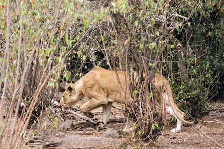 African lioness prowls around bushes , Masai Mara National Reserve, Kenya