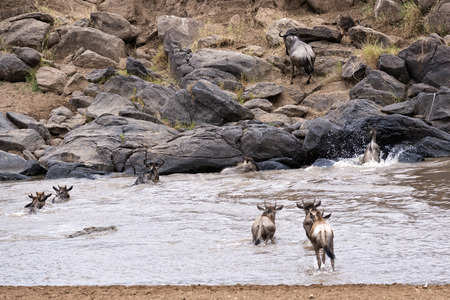 africa crocodile: herd of white bearded wildebeest  Connochaetes tuarinus mearnsi  crossing Mara River during annual migration from  Serengeti National Park in Tanzania and large crocodile hunting on them ,  Maasai Mara National Reserve, Kenya