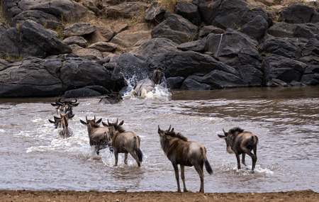 mara: small herd of white bearded wildebeest  Connochaetes tuarinus mearnsi  crossing Mara River during annual migration from  Serengeti National Park in Tanzania to greener pastures of  Maasai Mara National Reserve, Kenya  Stock Photo