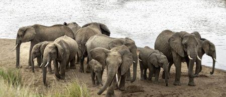 Group of African bush elephants   Loxodonta africana  at watering point on Mara River, Kenya Stock Photo