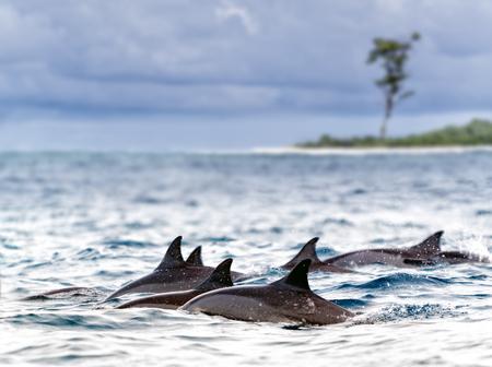 spinner: Pod of wild  spinner dolphins  Stenella longirostris  in shallow bays near Bird Island, Seychelles