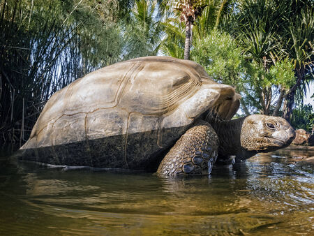 land shell: Aldabra Giant Tortoise  Aldabrachelys gigantea , Cousin island, Seychelles, Africa