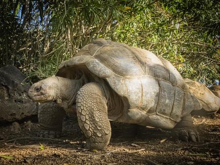 land shell: Aldabrachelys elephantina  syn  Geochelone gigantea, Dypsochelys elephantina, Dypsochelys dussumieri, Seychelles, Africa Stock Photo