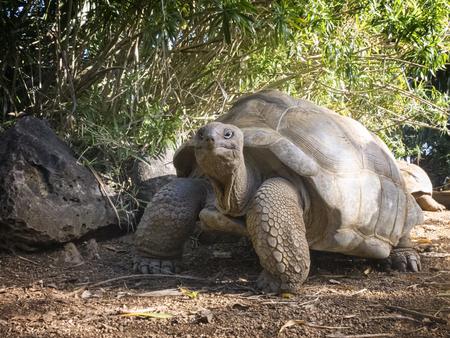 cousin: Aldabra Giant Tortoise  Aldabrachelys gigantea , Cousin island, Seychelles, Africa