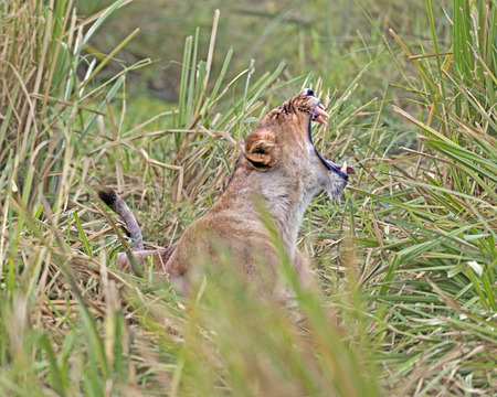 African lioness roar while resting in long grass , Masai Mara National Reserve, Kenya photo