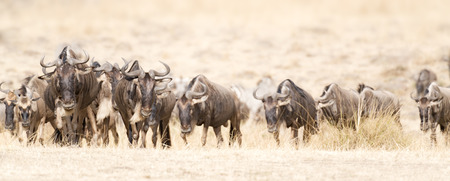tanzania antelope: herd of white bearded wildebeest  Connochaetes tuarinus mearnsi   during annual migration from  Serengeti National Park in Tanzania
