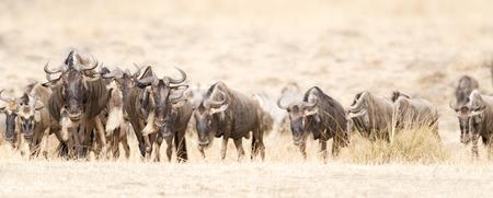 Herde von weißen bärtigen Gnus Connochaetes tuarinus mearnsi während der jährlichen Migration von Serengeti Nationalpark in Tansania Standard-Bild
