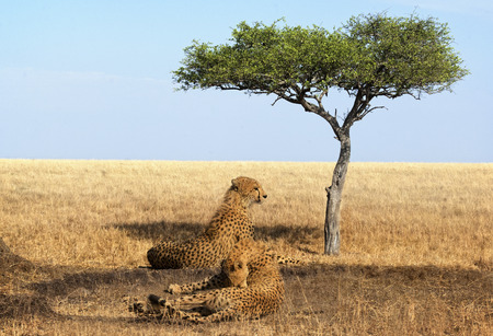 big5: Two adult cheetahs resting in shadow after  succcessfull hunting, Masai Mara National Reserve, Kenya, East Africa