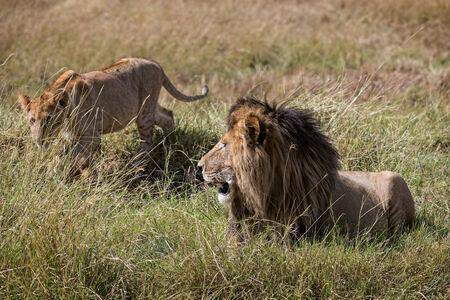 big5: Juvenile  lion approach pride leader,  Masai Mara National Reserve, Kenya, Africa
