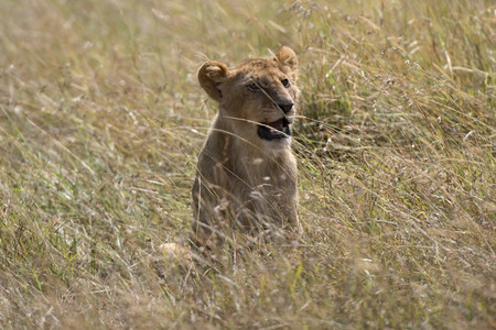 big5: Juvenile african lion in tall savanna grass, Masai Mara National Reserve, Kenya, Africa