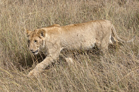 big5: African lioness hunting in grasses of masai Mara National Reserve , Kenya, Eastern  Africa
