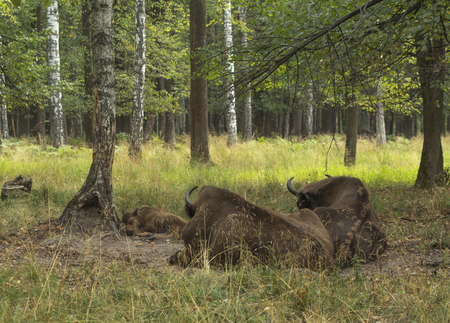 look after: Two cows of  European bison  Bison bonasus look after calf, Prioksky-terraced reservation, Russia