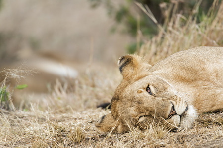 big5: African lioness resting in grass , Masai Mara National Reserve, Kenya