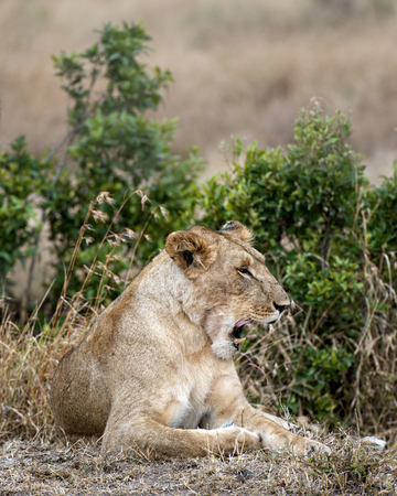 big5: African lioness yawns while resting in bushes, Masai Mara National Reserve, Kenya