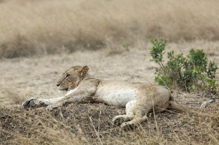 African lioness resting  on knap, Masai Mara National Reserve, Kenya