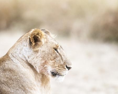big5: African lioness , Masai Mara National Reserve, Kenya